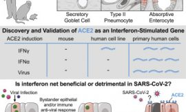 Type I and Type III IFN Restrict SARS-CoV-2 Infection of Human Airway Epithelial Cultures