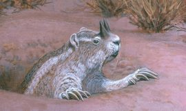 Extinct gophers evolved horns on their noses for fighting predators