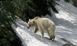 Parks Canada installs no stopping zone to protect white grizzly