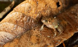Shining like a diamond: A new species of diamond frog from northern Madagascar