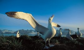Albatrosses: Facts about the biggest flying birds