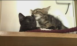 'Cat'astrophe avoided: Vancouver's cat cafes claw back business amid COVID-19