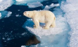 Climate change may kill off nearly all polar bears by 2100