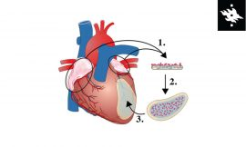 Promising therapy for cardiac regeneration