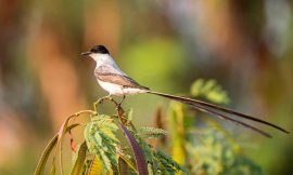 Birds that 'speak' with a flap of their wings have regional dialects