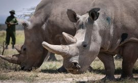 Embryos set to be implanted in the last two northern white rhinos