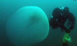 Mysterious 'blobs' near Norway are full of squid mucus and embryos, study finds