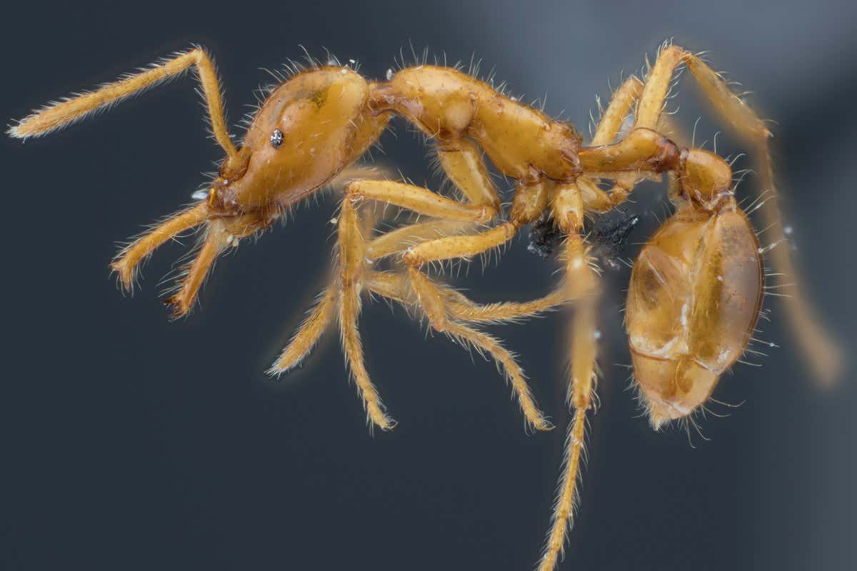 Ant species given first gender-neutral scientific name
