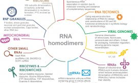 Global mapping of RNA homodimers in living cells