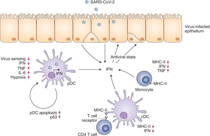 Impaired function and delayed regeneration of dendritic cells in COVID-19