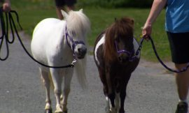 Miniature horses a bright spot for Ontario town during COVID-19 lockdowns
