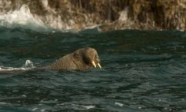 Where's Wally? Iceberg-hopping walrus is now 2,600 miles from home