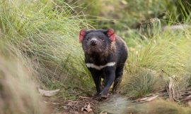 Wild Tasmanian devils born on mainland Australia for 1st time in 3,000 years