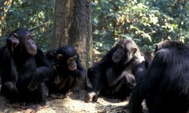 Male chimps with more friends are more likely to have offspring